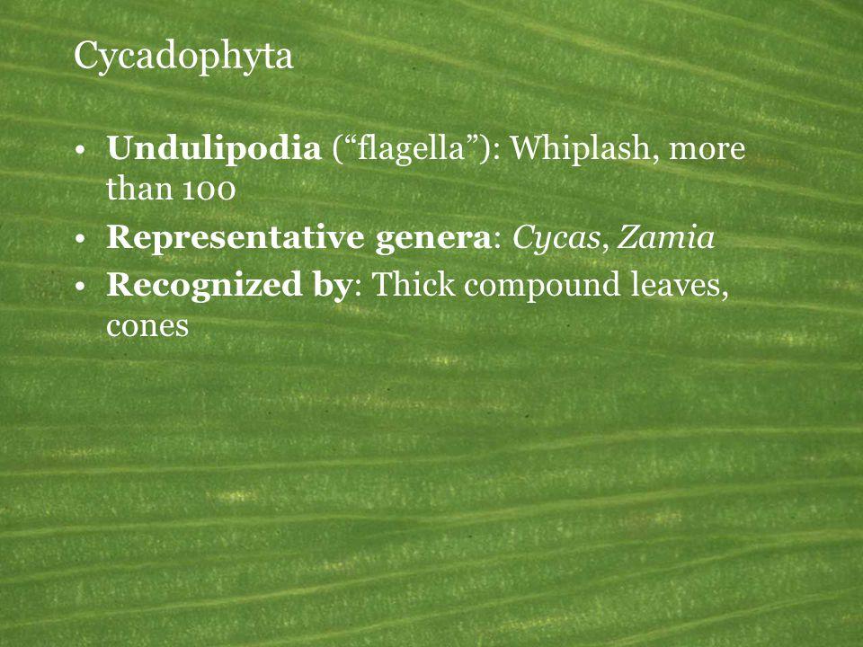 Cycadophyta Undulipodia ( flagella ): Whiplash, more than 100