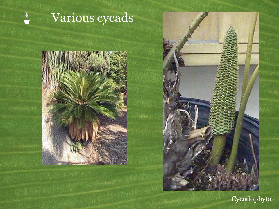 P Various cycads Cycadophyta