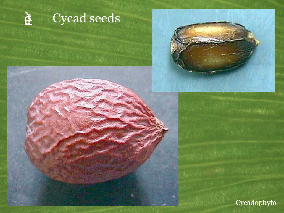 A Cycad seeds Upper right: Zamia. Lower left: Cycas. Cycadophyta