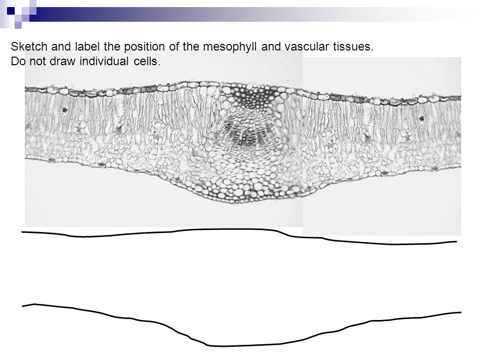 Sketch and label the position of the mesophyll and vascular tissues.