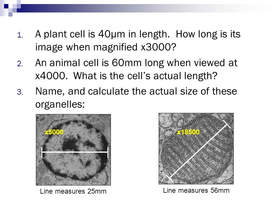 Name, and calculate the actual size of these organelles:
