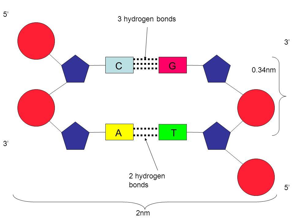 5' 3 hydrogen bonds 3' C G 0.34nm A T 3' 2 hydrogen bonds 5' 2nm