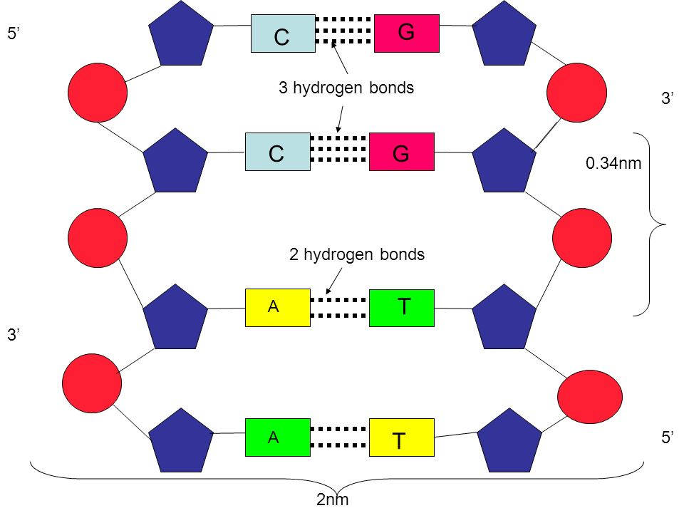 G C C G T T 5' 3 hydrogen bonds 3' 0.34nm 2 hydrogen bonds A 3' A 5'