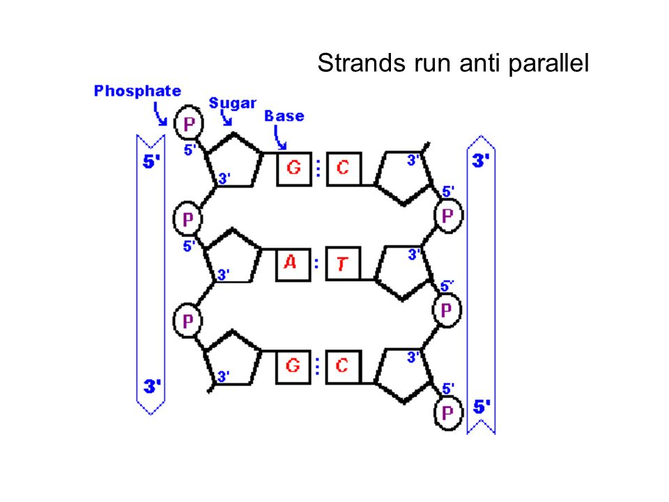 Strands run anti parallel