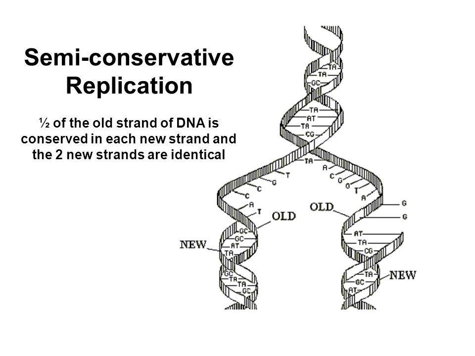 Semi-conservative Replication