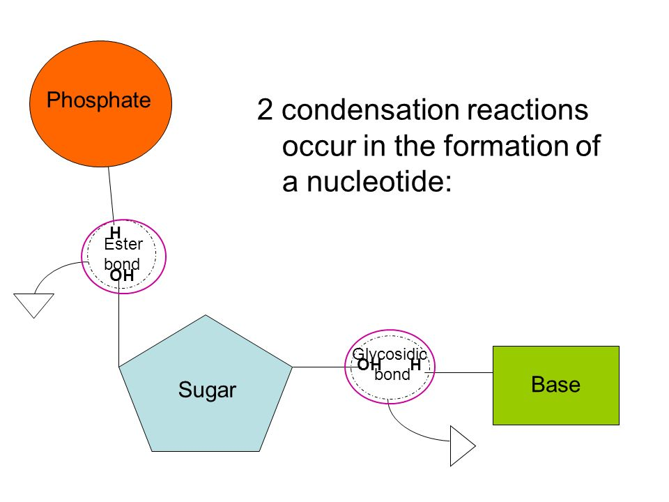 2 condensation reactions occur in the formation of a nucleotide:
