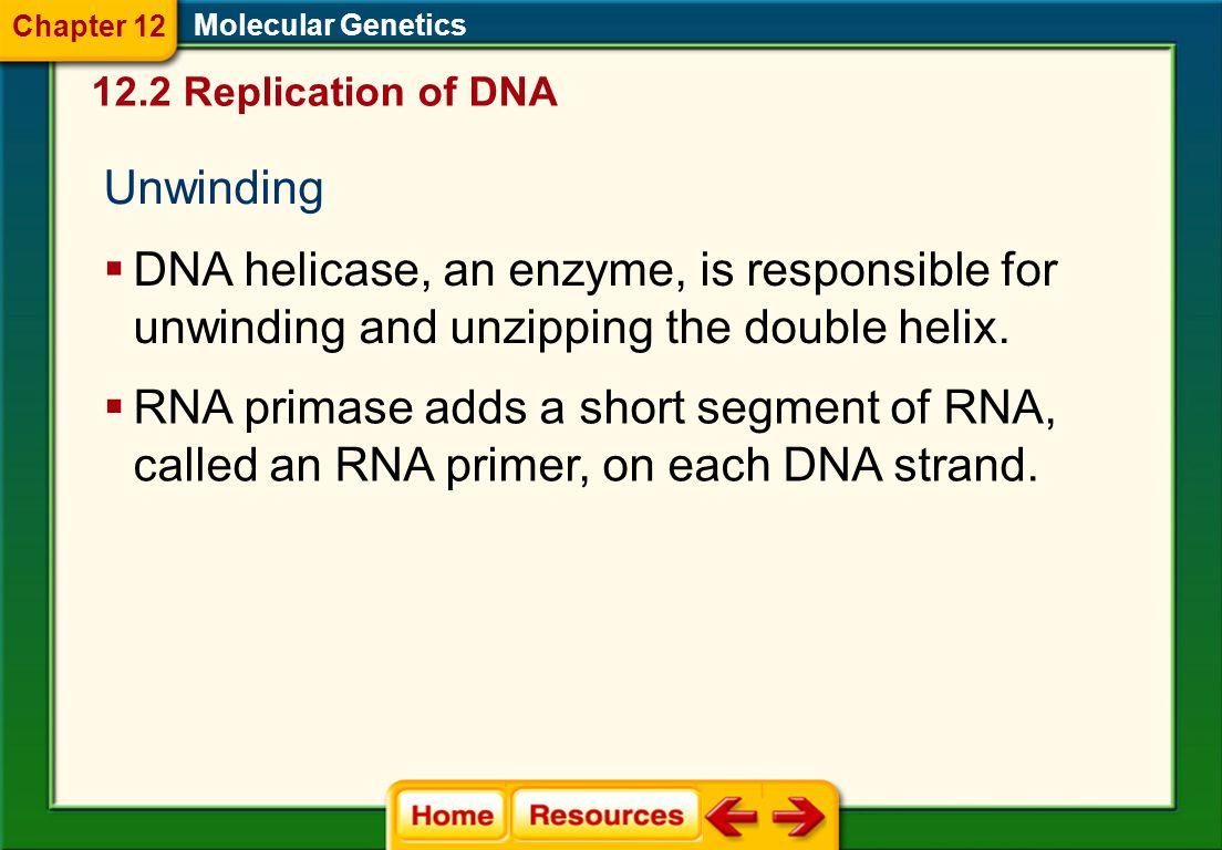 Chapter 12 Molecular Genetics. 12.2 Replication of DNA. Unwinding.