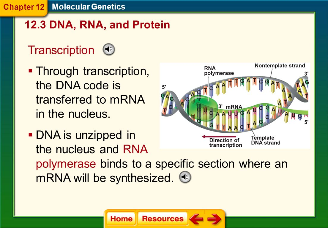 DNA is unzipped in the nucleus and RNA