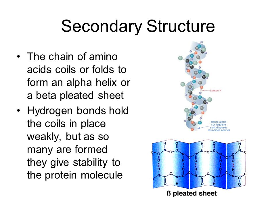 Secondary Structure The chain of amino acids coils or folds to form an alpha helix or a beta pleated sheet.