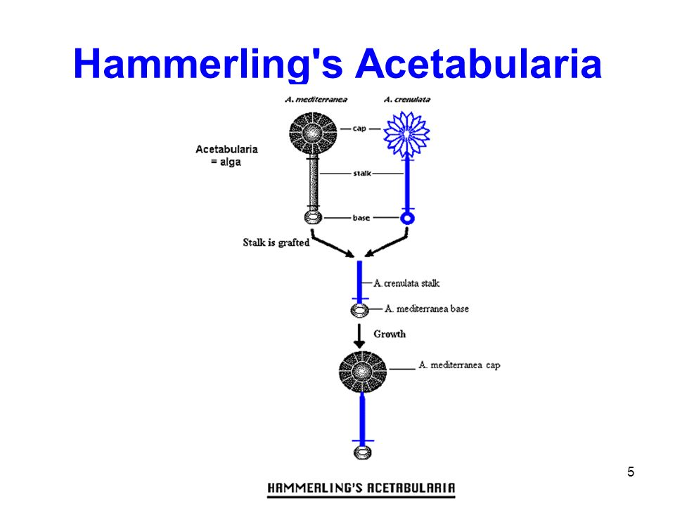 Hammerling s Acetabularia
