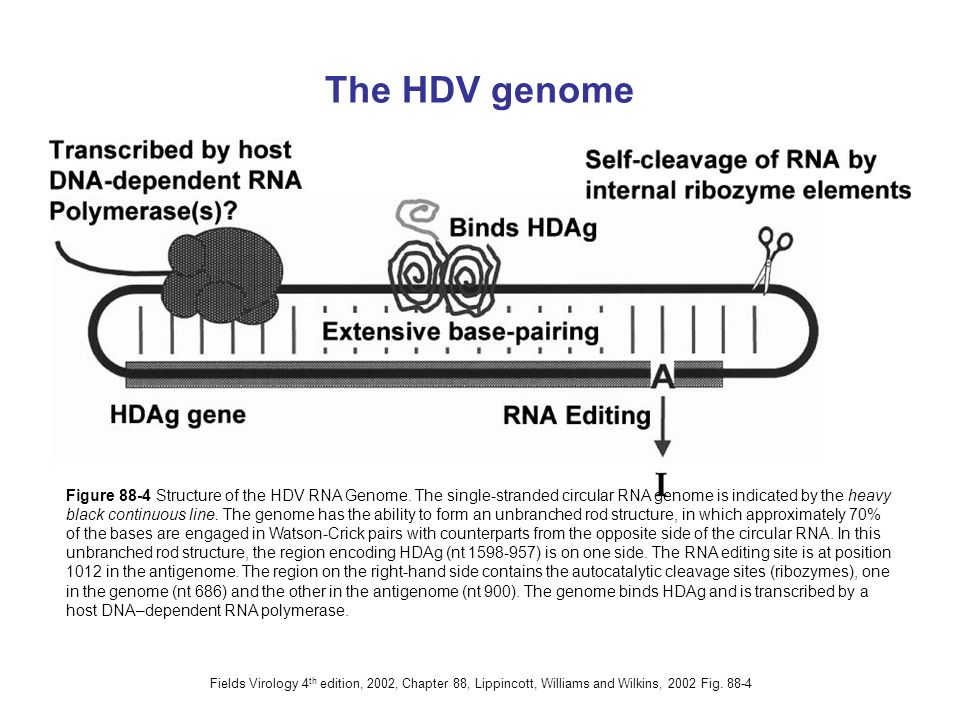 The HDV genome