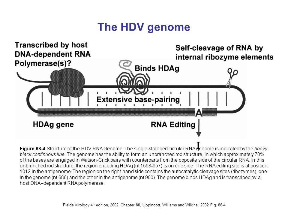 The HDV genome