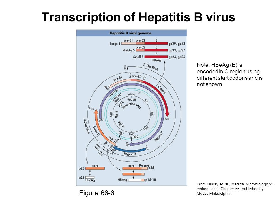 Transcription of Hepatitis B virus