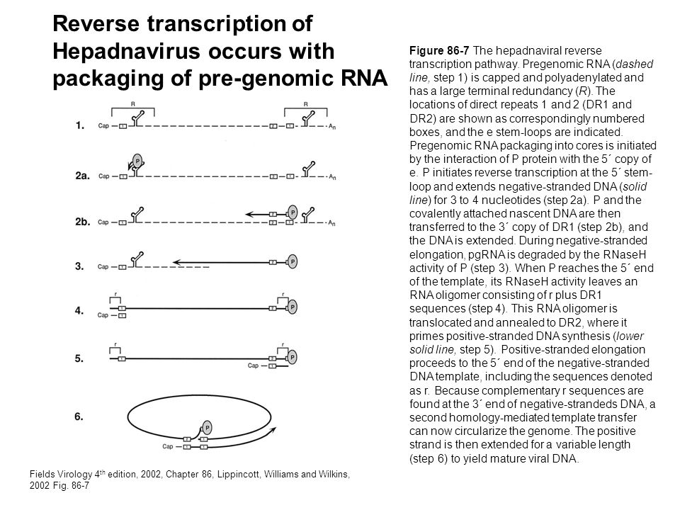 Reverse transcription of Hepadnavirus occurs with packaging of pre-genomic RNA