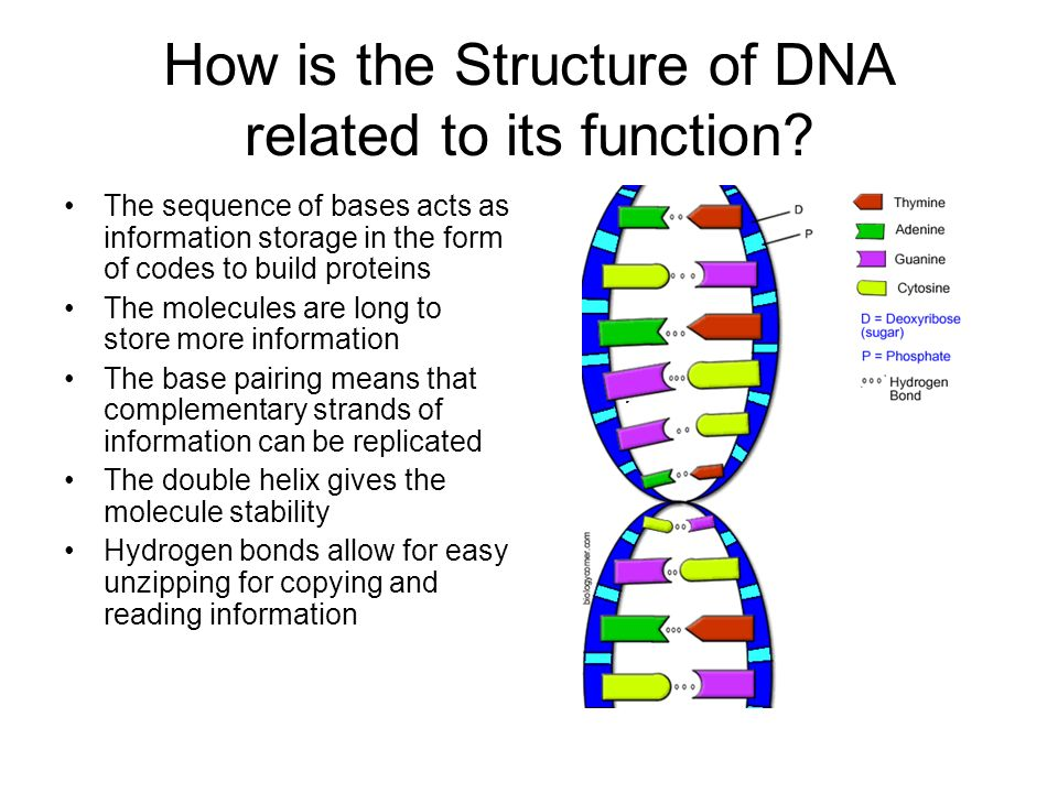 How is the Structure of DNA related to its function