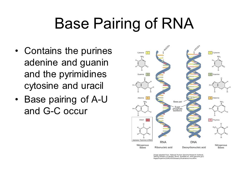 Base Pairing of RNA Contains the purines adenine and guanin and the pyrimidines cytosine and uracil.