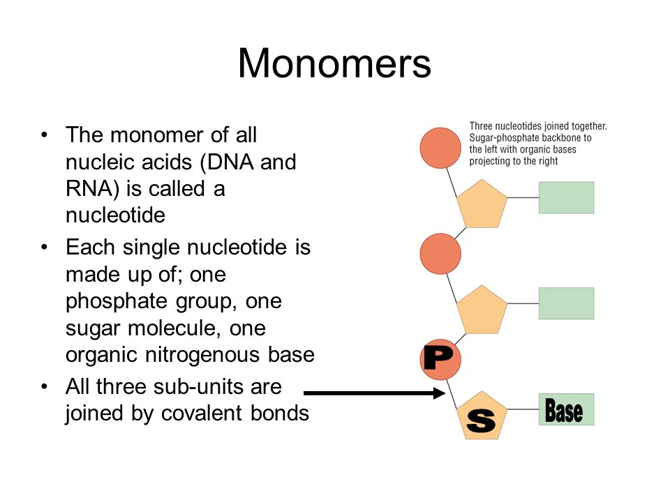 Monomers The monomer of all nucleic acids (DNA and RNA) is called a nucleotide.