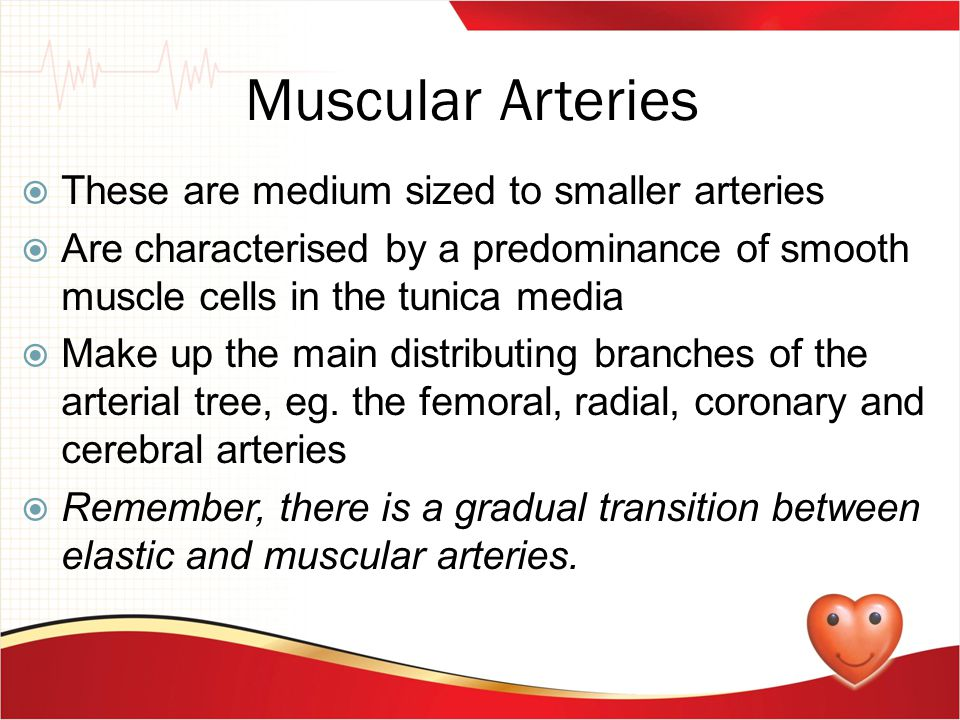 Muscular Arteries These are medium sized to smaller arteries