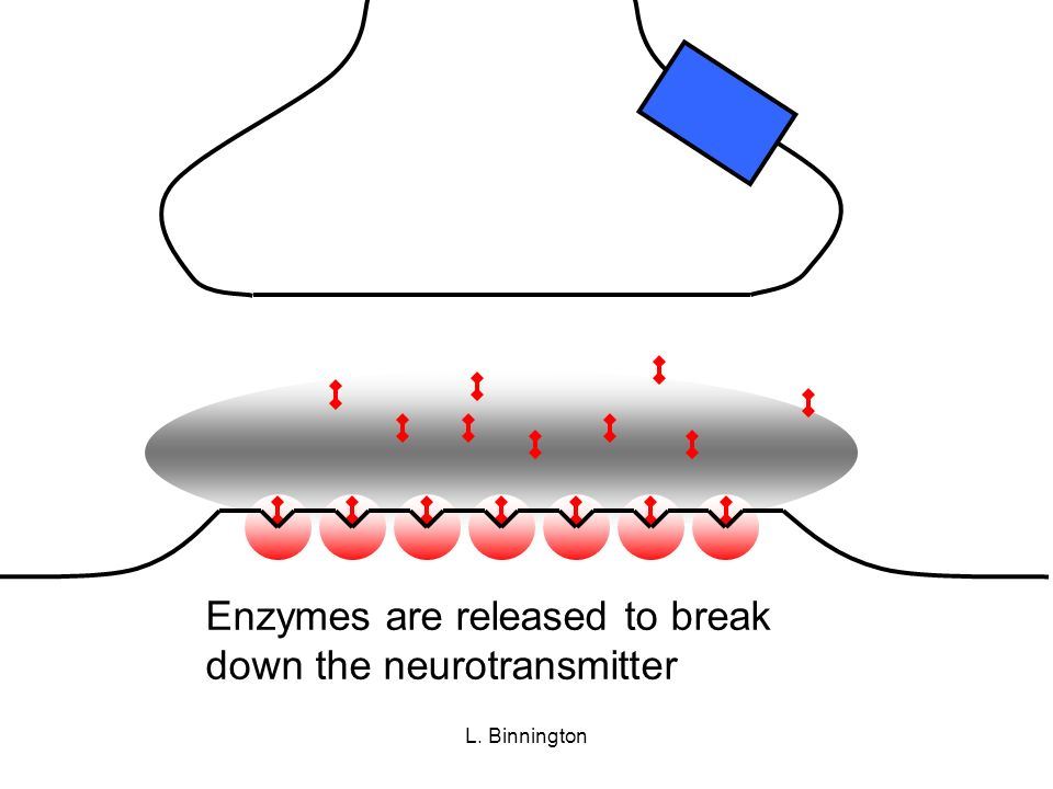 Enzymes are released to break down the neurotransmitter