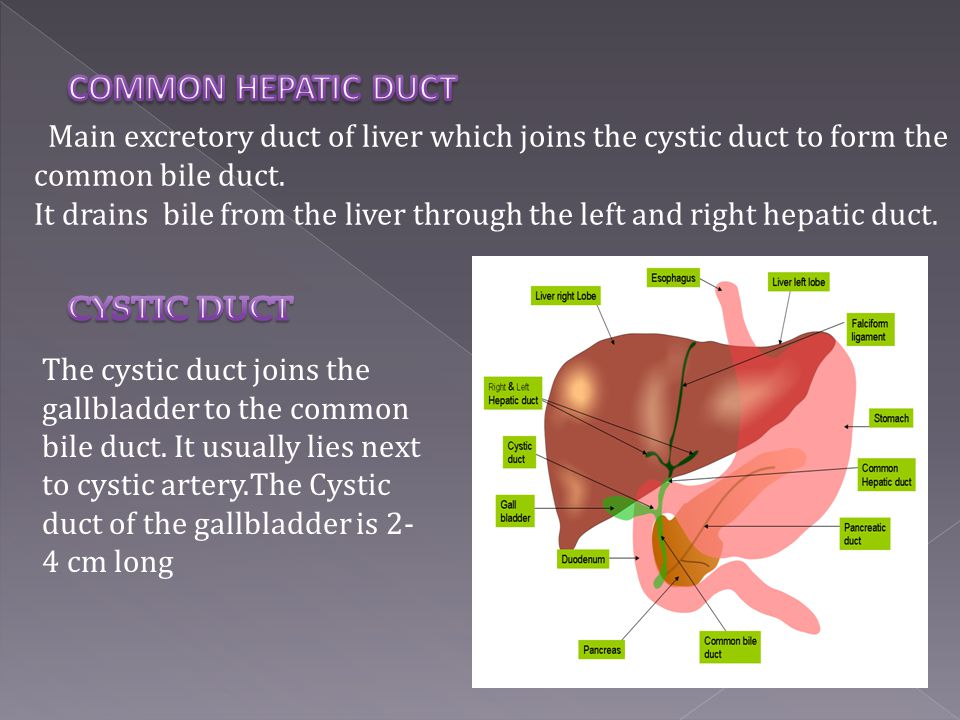 COMMON HEPATIC DUCT Main excretory duct of liver which joins the cystic duct to form the common bile duct.