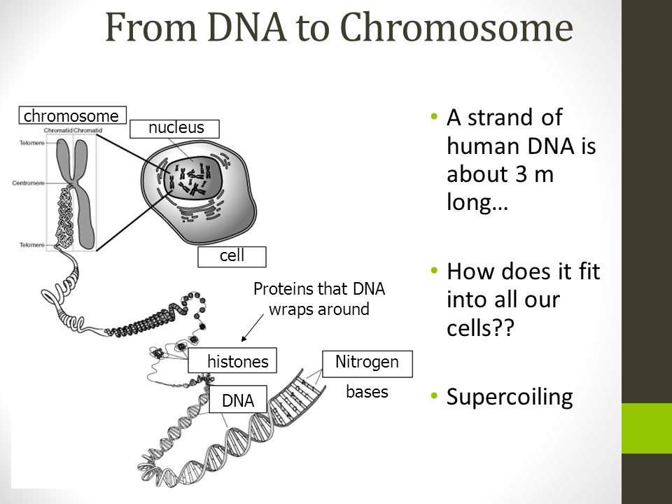 Proteins that DNA wraps around