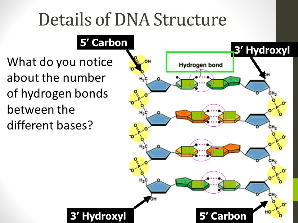 Details of DNA Structure