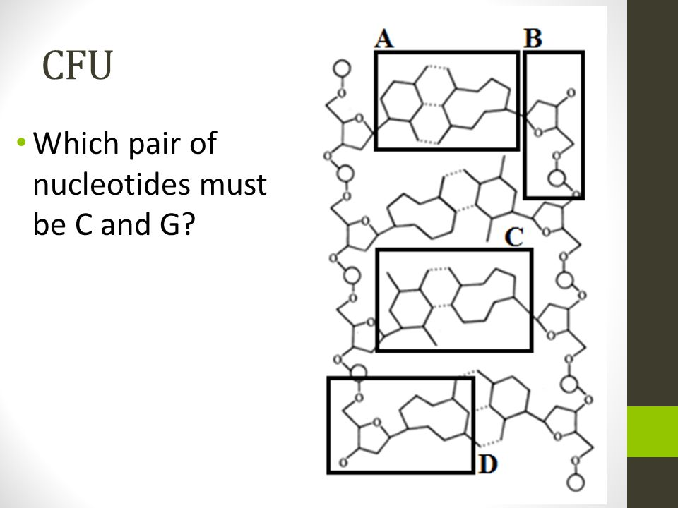 CFU Which pair of nucleotides must be C and G