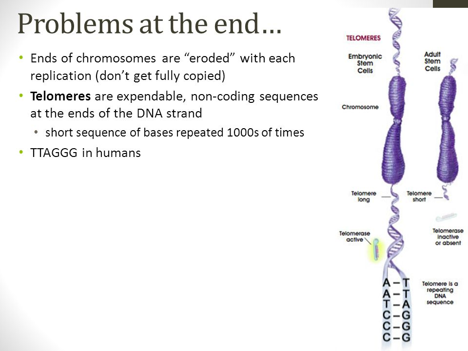 Problems at the end…Ends of chromosomes are eroded with each replication (don't get fully copied)
