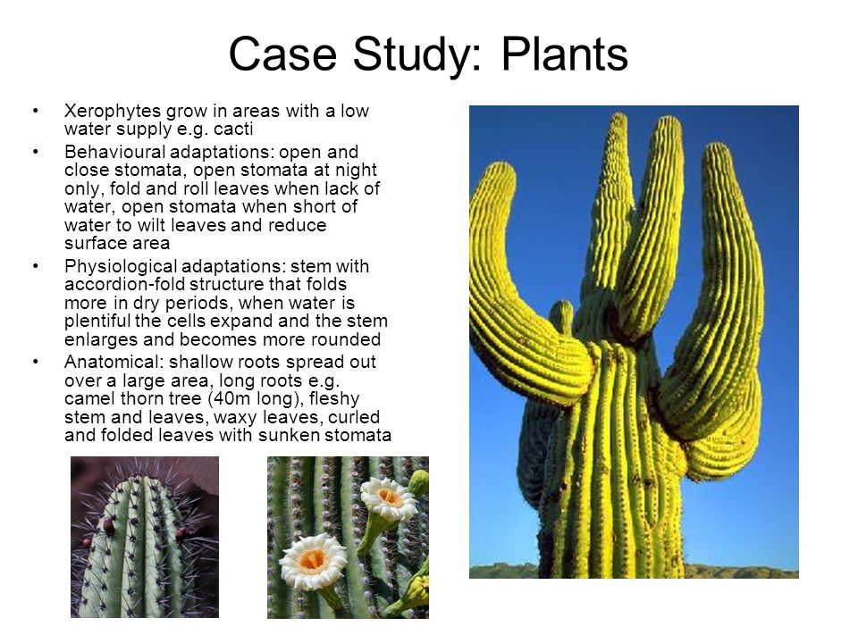 Case Study: Plants Xerophytes grow in areas with a low water supply e.g. cacti.