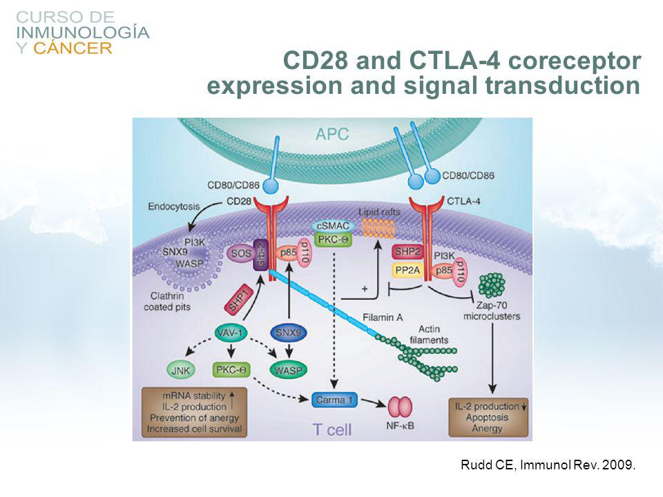CD28 and CTLA-4 coreceptor expression and signal transduction