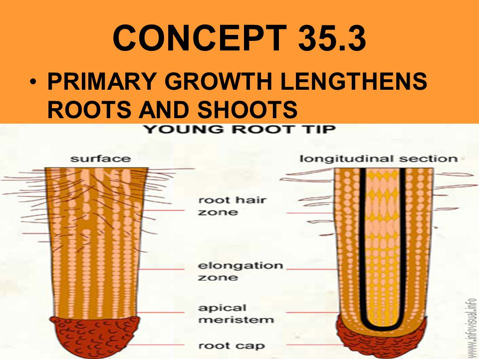CONCEPT 35.3 PRIMARY GROWTH LENGTHENS ROOTS AND SHOOTS