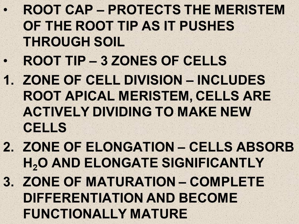 ROOT CAP – PROTECTS THE MERISTEM OF THE ROOT TIP AS IT PUSHES THROUGH SOIL