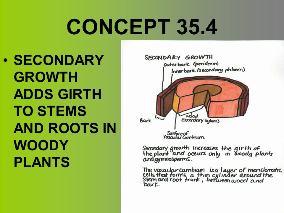 CONCEPT 35.4 SECONDARY GROWTH ADDS GIRTH TO STEMS AND ROOTS IN WOODY PLANTS