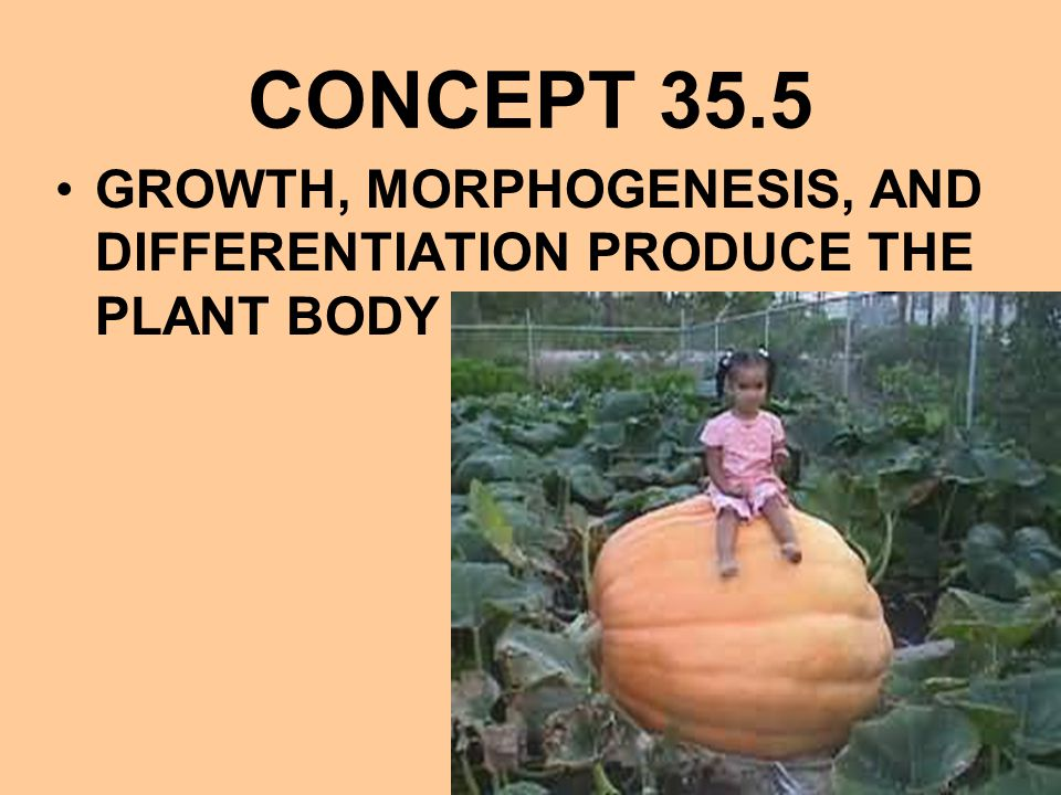 CONCEPT 35.5 GROWTH, MORPHOGENESIS, AND DIFFERENTIATION PRODUCE THE PLANT BODY