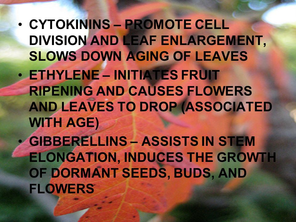 CYTOKININS – PROMOTE CELL DIVISION AND LEAF ENLARGEMENT, SLOWS DOWN AGING OF LEAVES