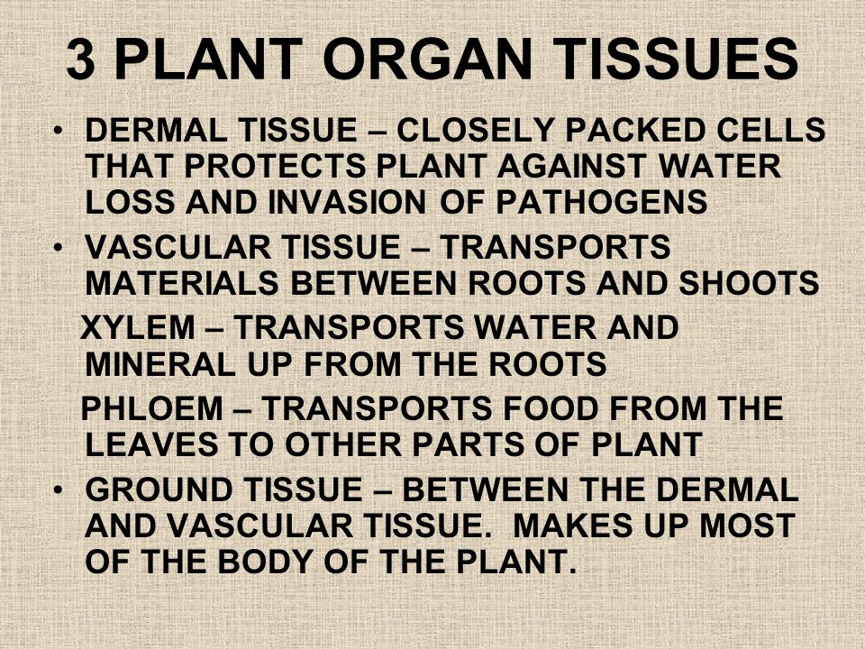 3 PLANT ORGAN TISSUES DERMAL TISSUE – CLOSELY PACKED CELLS THAT PROTECTS PLANT AGAINST WATER LOSS AND INVASION OF PATHOGENS.