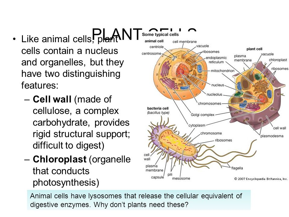 PLANT CELLS Like animal cells, plant cells contain a nucleus and organelles, but they have two distinguishing features:
