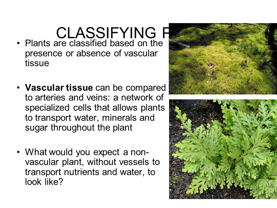 CLASSIFYING PLANTS Plants are classified based on the presence or absence of vascular tissue.