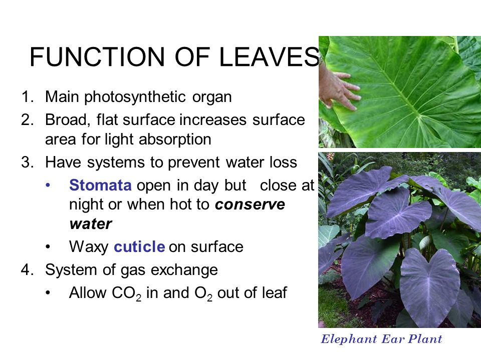 FUNCTION OF LEAVES Main photosynthetic organ