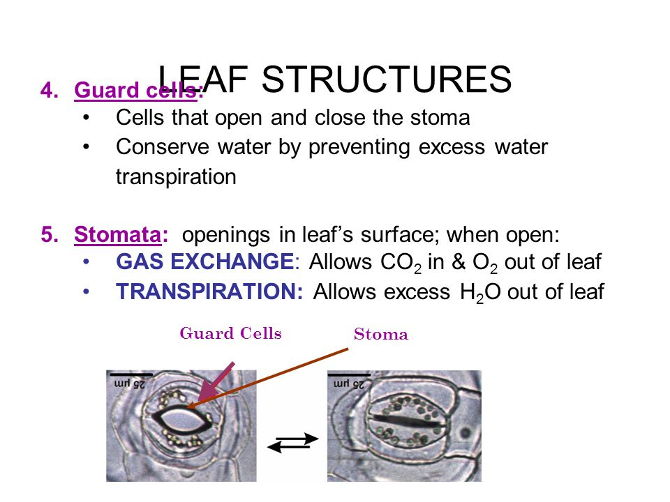 LEAF STRUCTURES Guard cells: Cells that open and close the stoma