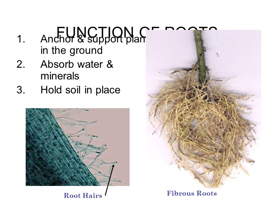 FUNCTION OF ROOTS Anchor & support plant in the ground