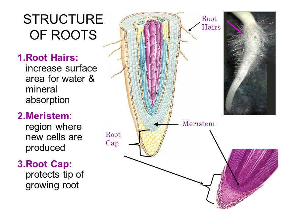 STRUCTURE OF ROOTS Root Hairs. Root Hairs: increase surface area for water & mineral absorption. Meristem: region where new cells are produced.