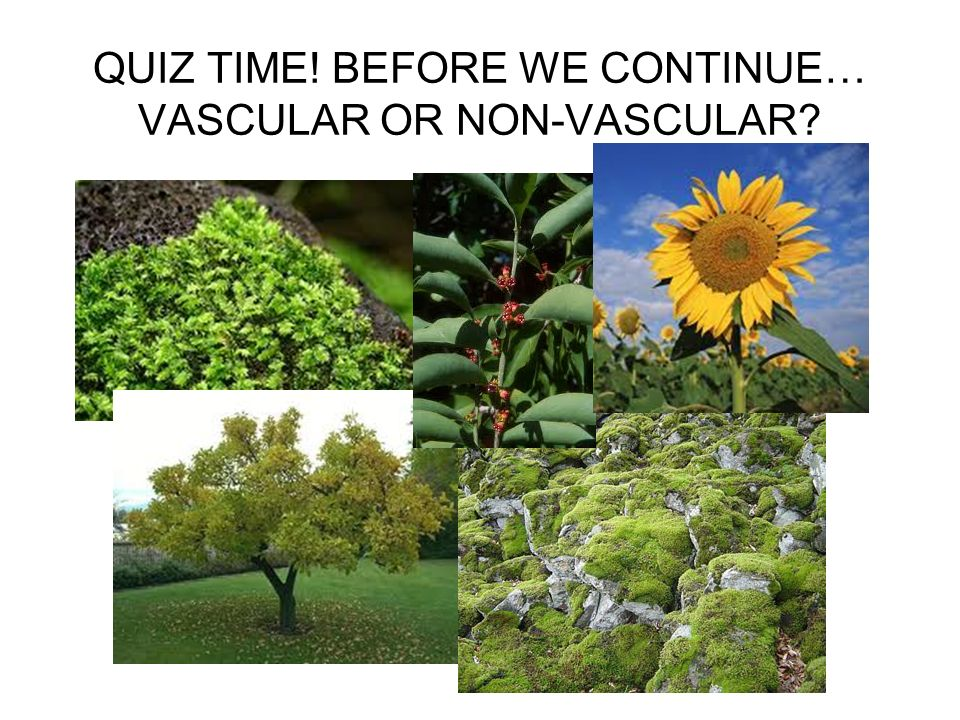 QUIZ TIME! BEFORE WE CONTINUE… VASCULAR OR NON-VASCULAR