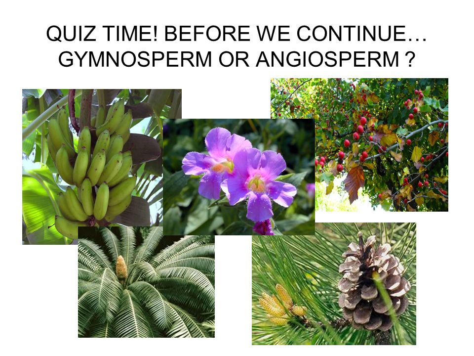 QUIZ TIME! BEFORE WE CONTINUE… GYMNOSPERM OR ANGIOSPERM