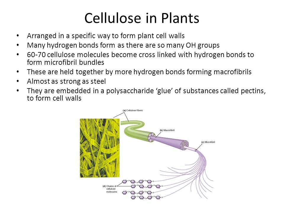 Cellulose In Plants | www.pixshark.com - Images Galleries