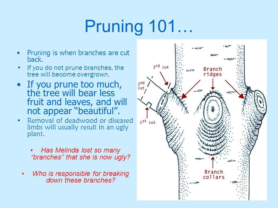 Pruning 101… Pruning is when branches are cut back. If you do not prune branches, the tree will become overgrown.
