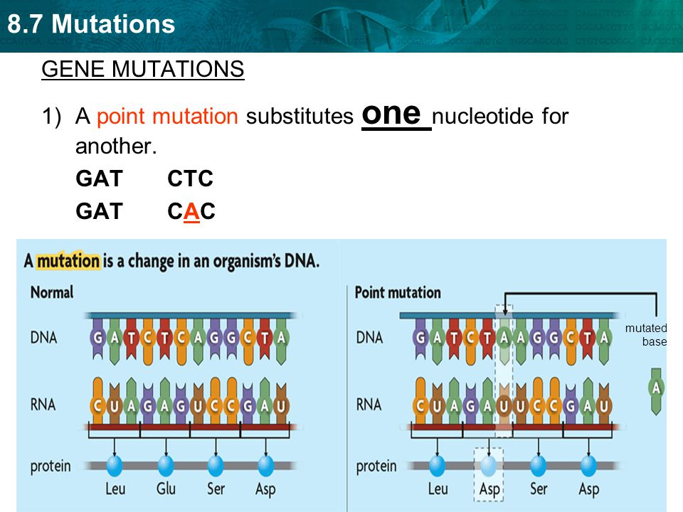 A point mutation substitutes one nucleotide for another.