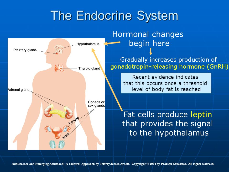 The Endocrine System Hormonal changes begin here