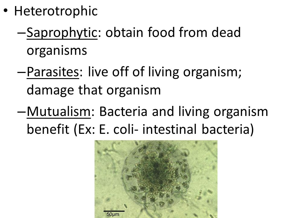 Heterotrophic Saprophytic: obtain food from dead organisms. Parasites: live off of living organism; damage that organism.