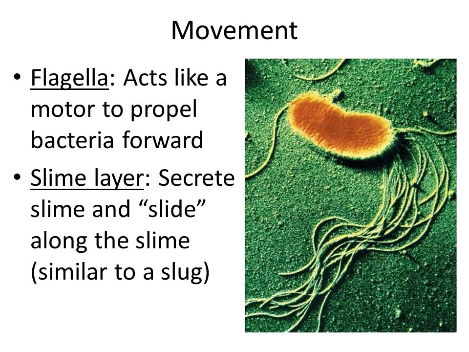 Movement Flagella: Acts like a motor to propel bacteria forward
